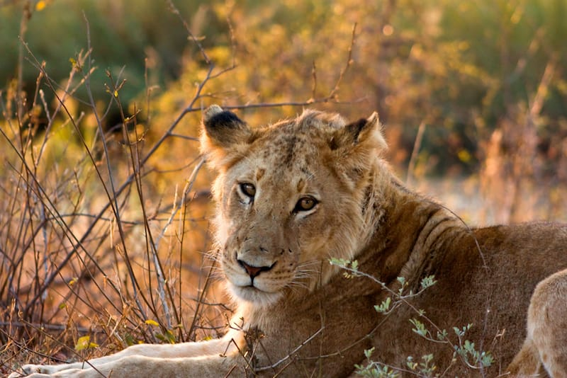 kruger-park-leeuw