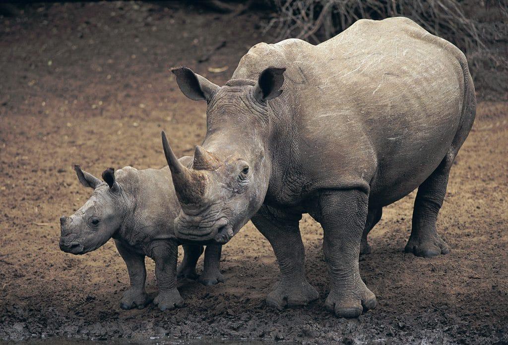 caption-white-rhinoceros-ceratotherium-simum-dangerous-animals-of-africa-safaris