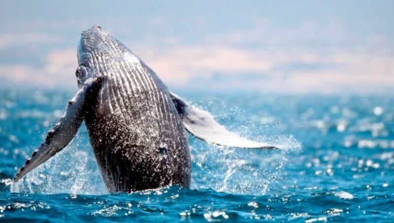 whales in hermanus