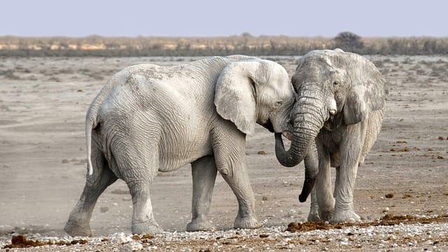 Elephants in Etosha Pan | Mietwagen Windhoek