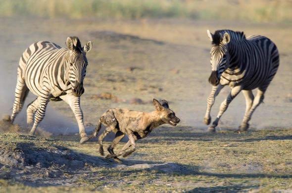 botswana self drive safari savuti