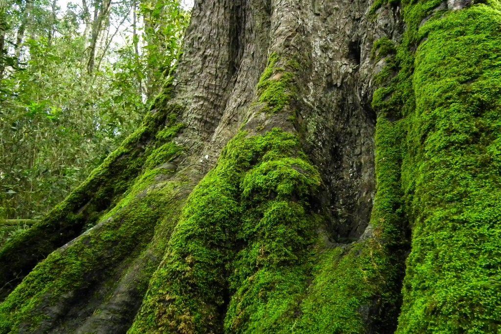 Big Tree in Knysna Forest