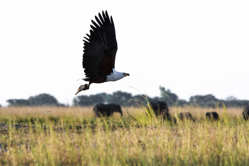 Botswana-Fish-Eagle
