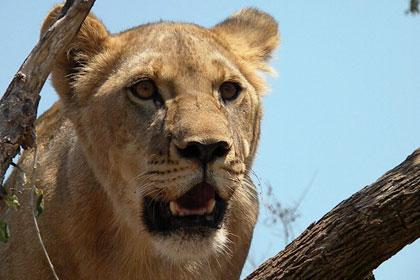 Walk the Lion