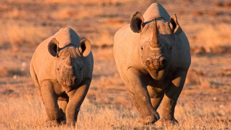Etosha is home to black rhino