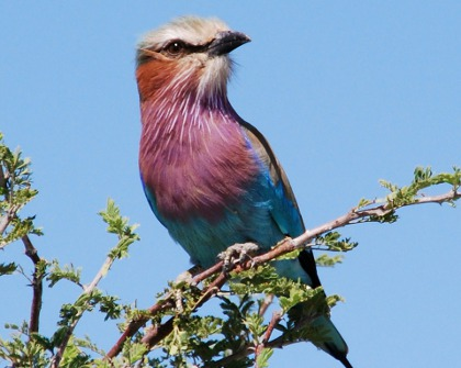 Lilac-brested roller peering out over Botswana border posts. Or not.