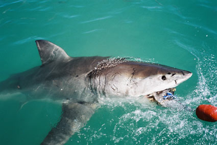 South Africa Cape Town Shark Cage Diving Gansbaai