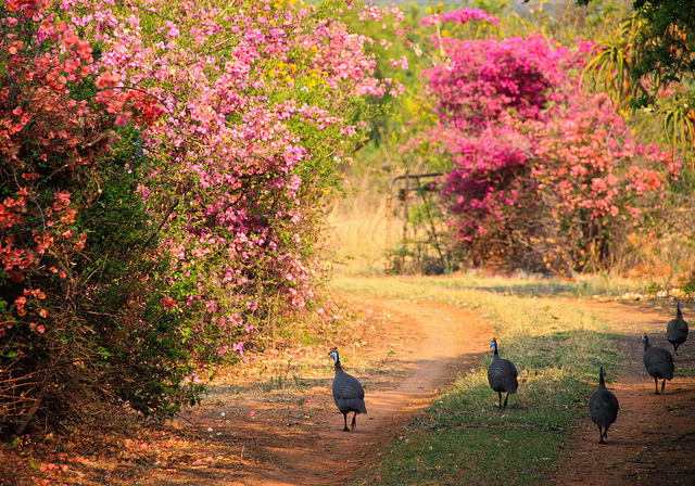 A farm road in Cullinan, South Africa that is lined with bougainvilleas.