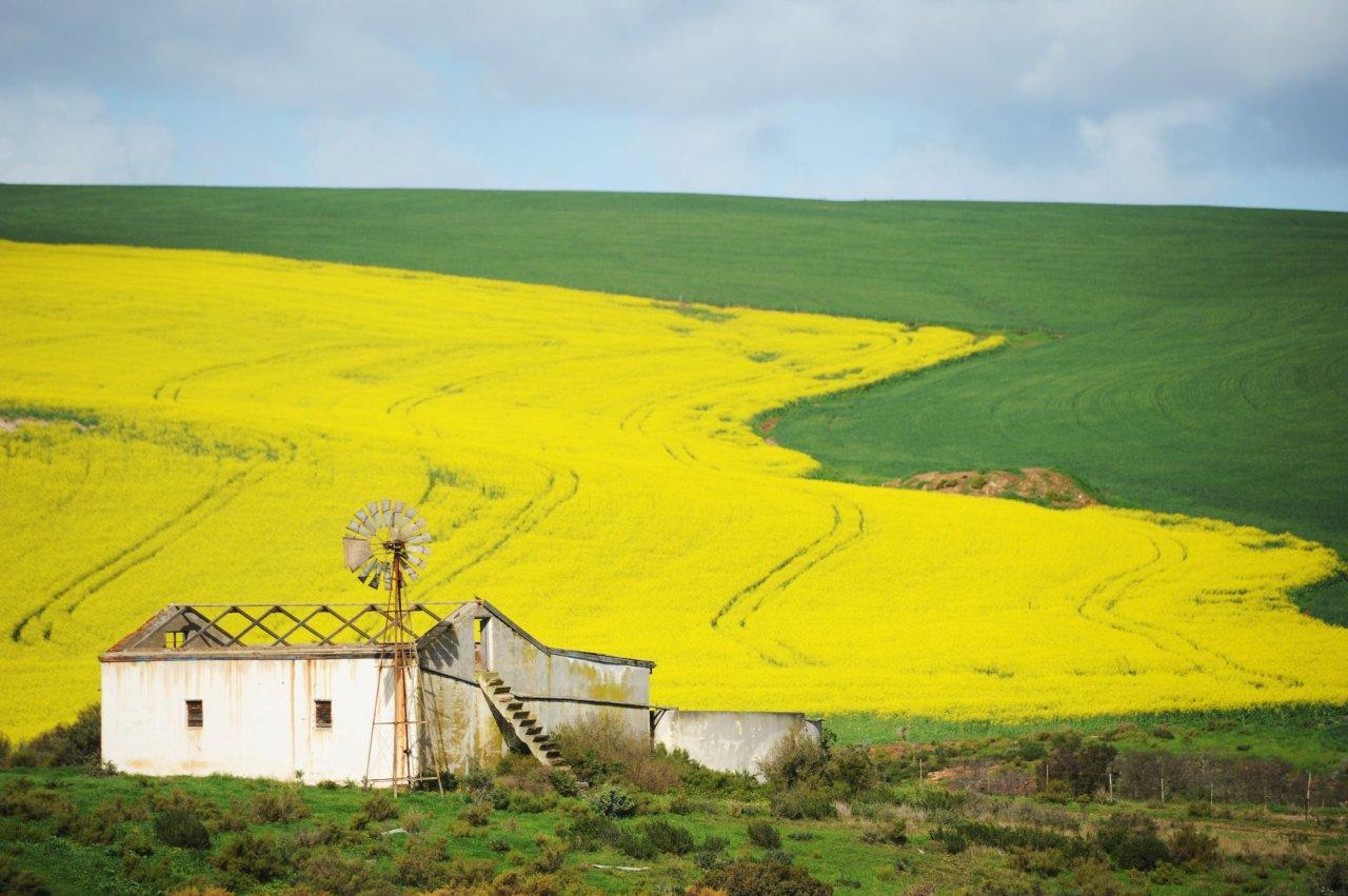 Canola fields by Michael Hammond