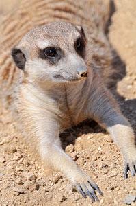 Namibia Damaraland Meerkats