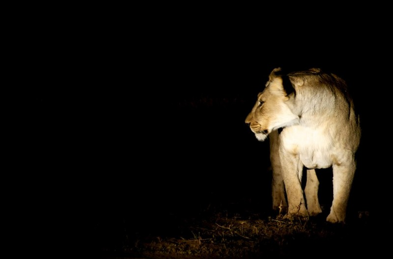 A lioness spotted on a self-drive safari