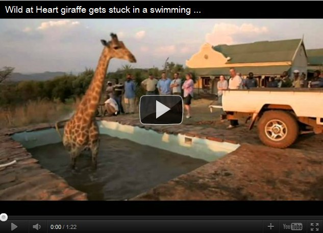 Giraffe rescued from Swimming Pool - YouTube Video