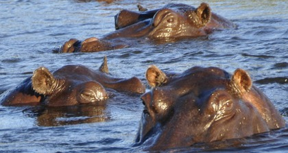 Hippos await - cross Botswana's border to discover Africa!