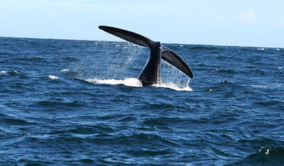 Whale watching Western Cape